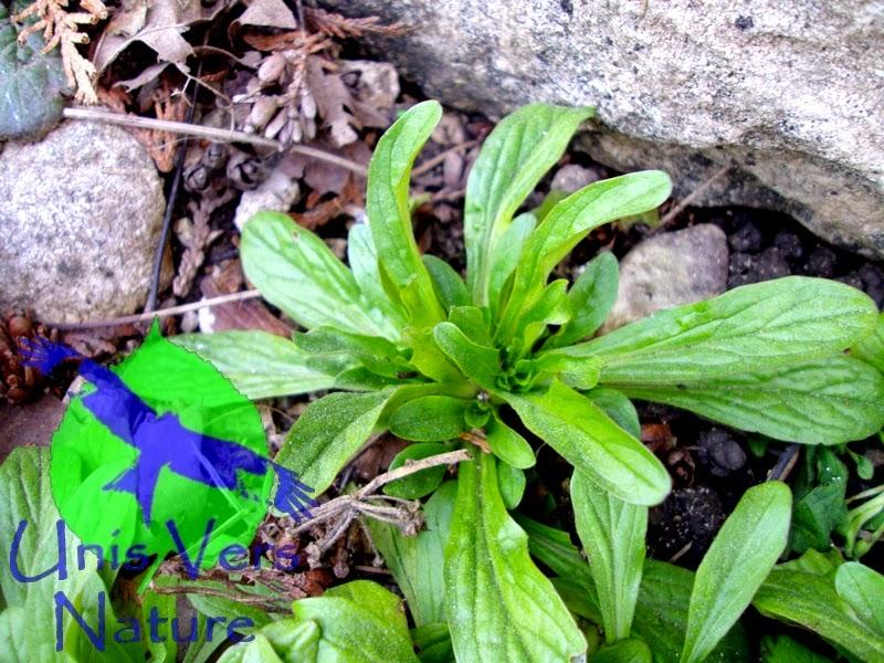 Unis vers nature salades de printemps il n 39 y a que la - Planter de la mache ...