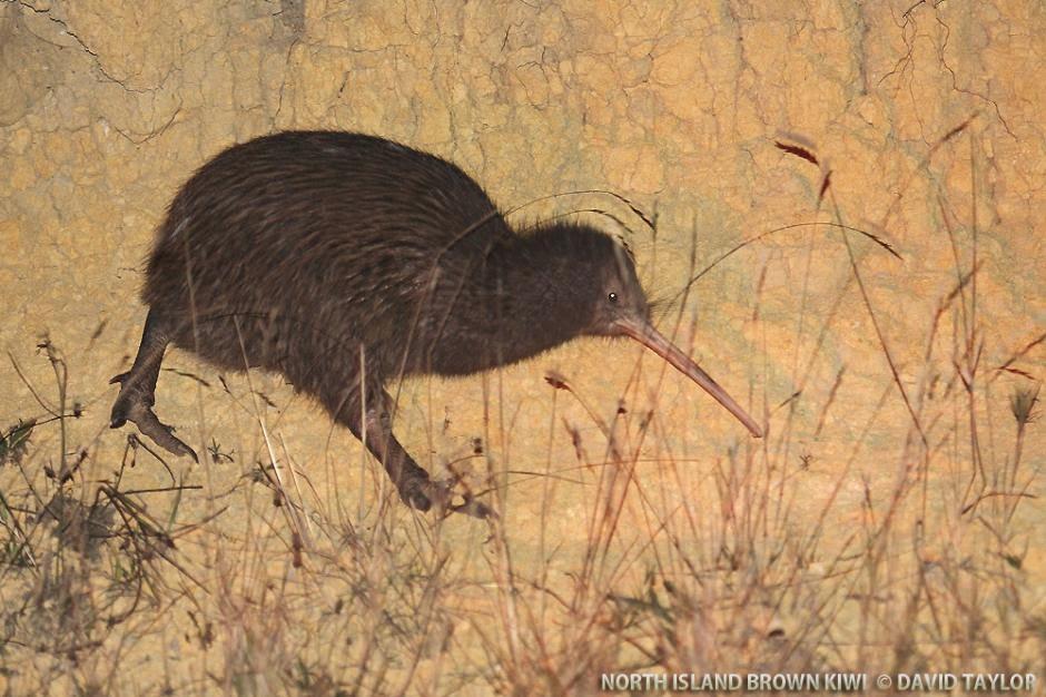 kiwi comun Apteryx australis