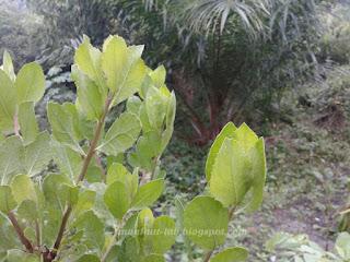 Manfaat daun beluntas untuk keputihan