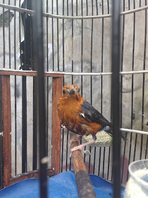 Anis kembang atau punglor merah ialah salah satu jenis burung kicau yang banyak diminati  Perawatan Harian Burung Anis Merah Yang Benar