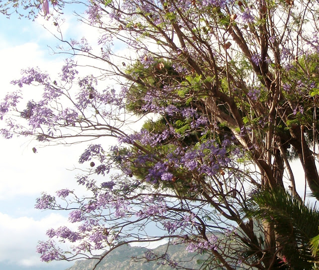 Jacaranda in Loutraki