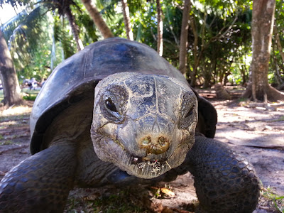 Riesenschildkröte auf Curieuse - Nahaufnahme