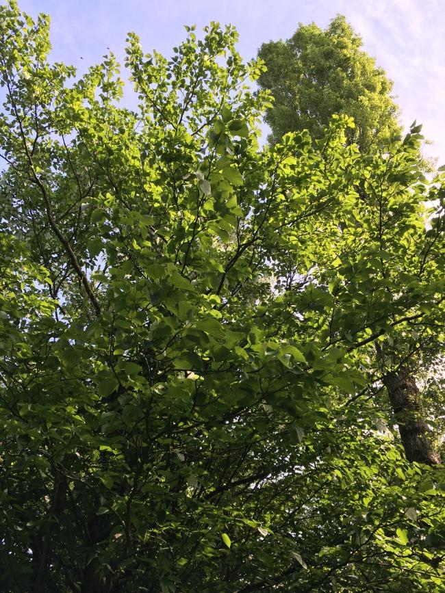 Tree-Davidii-Dyffryn-Gardens
