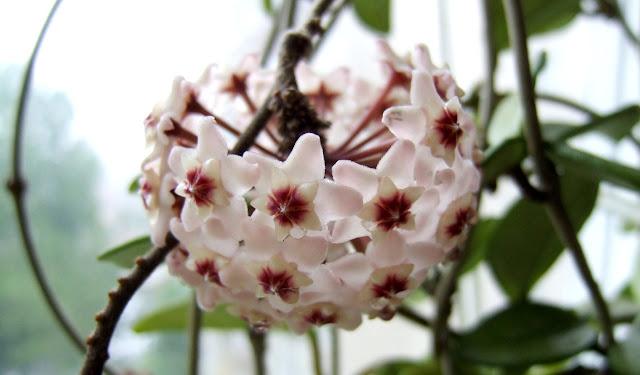 Kwiaty hoji