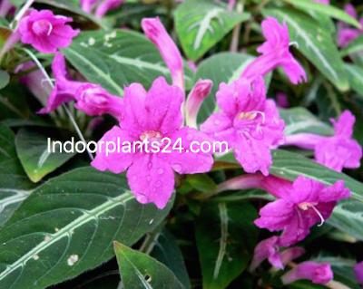 Ruellia makoyana Acanthaccac monkey  plant (flower) image