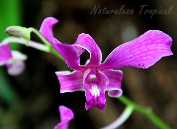 Dendrobium superbiens, Orquídea Violeta