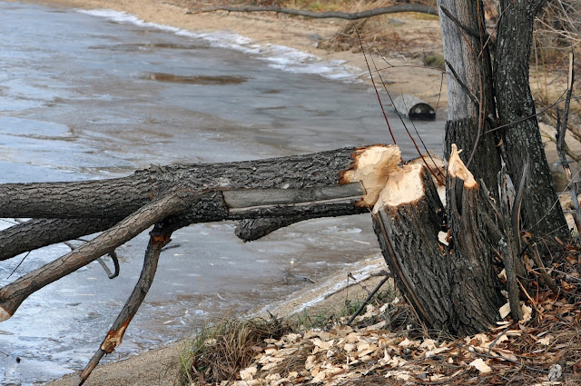 Дерево, поваленное бобром
