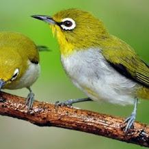 Cara Memilih Burung Pleci Yang Bagus Dan Cara Perawatannya