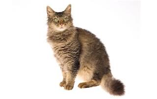 Kucing Laperm dan Karakteristiknya
