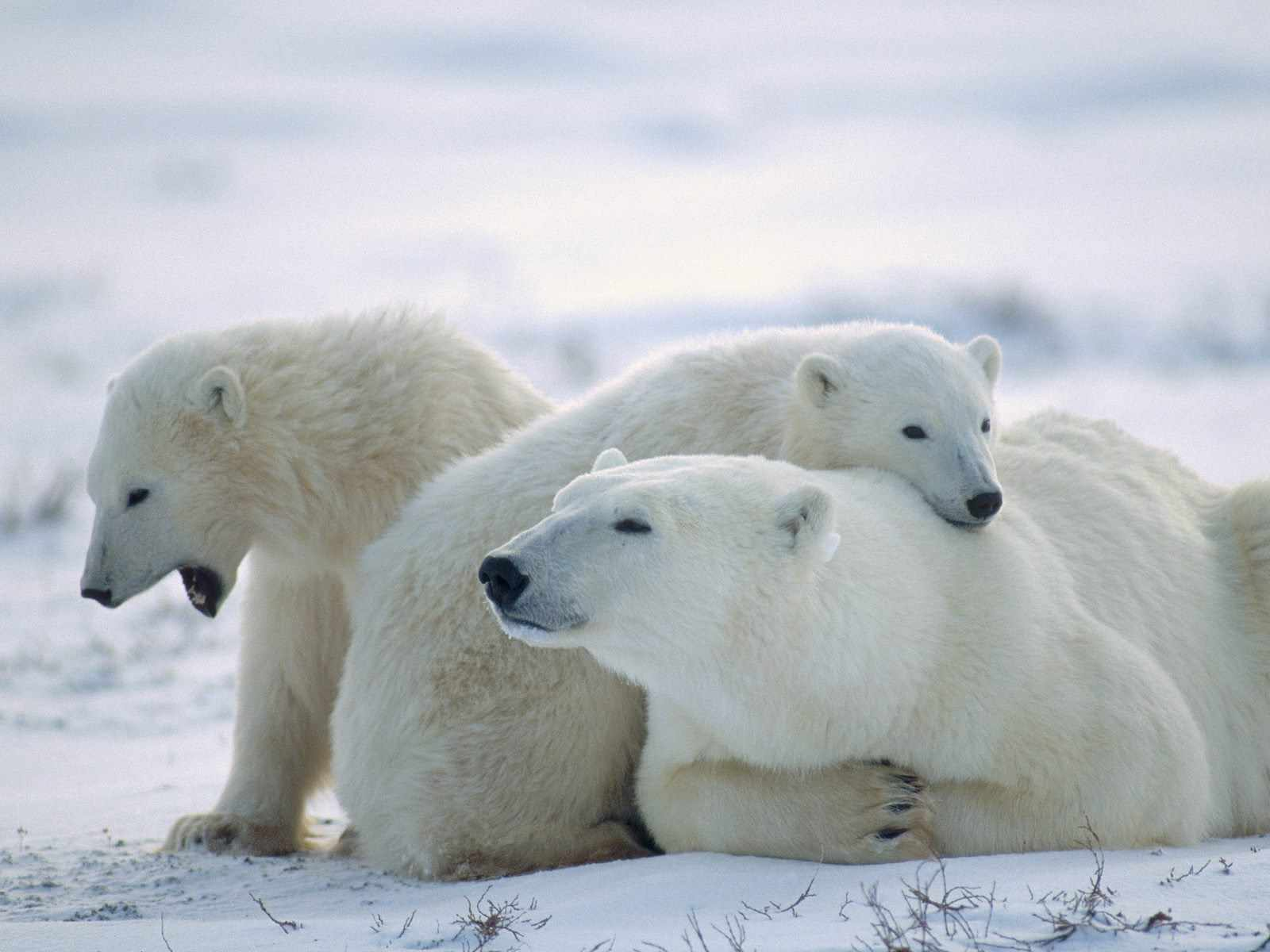 Imagenes De Osos Polares: Osos,osos Polares,wallpapers Hd,fondos,bear
