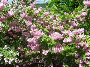 Deutzia Perle Rose