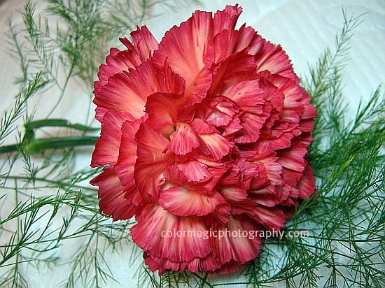 Red striped carnation-closeup