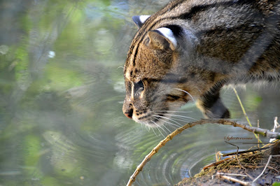 https://amazing-wild-animals.blogspot.com/2016/12/fishing-cat.html