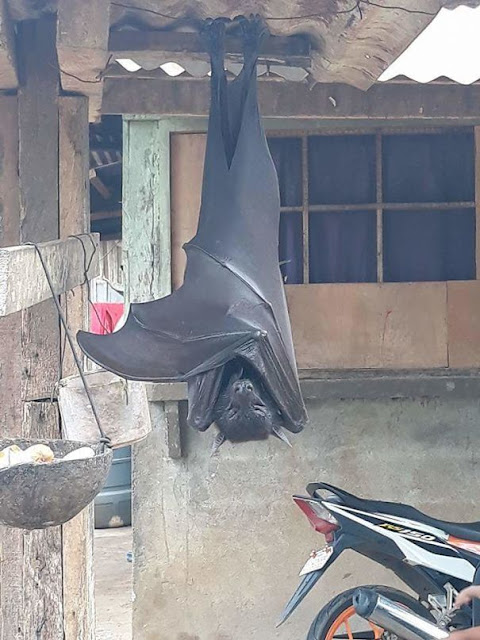 What Do You Do When You See A Flying Fox In Your Backyard? (The Philippines)