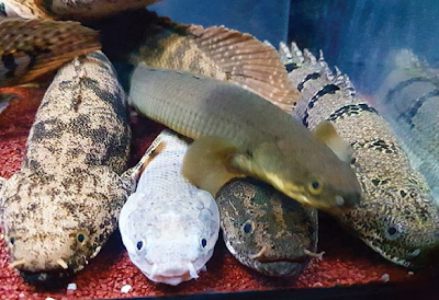 Palmas Salah Satu Ikan Air Tawar Purba