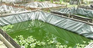 Cara Menumbuhkan Plankton Pada Kolam Budidaya