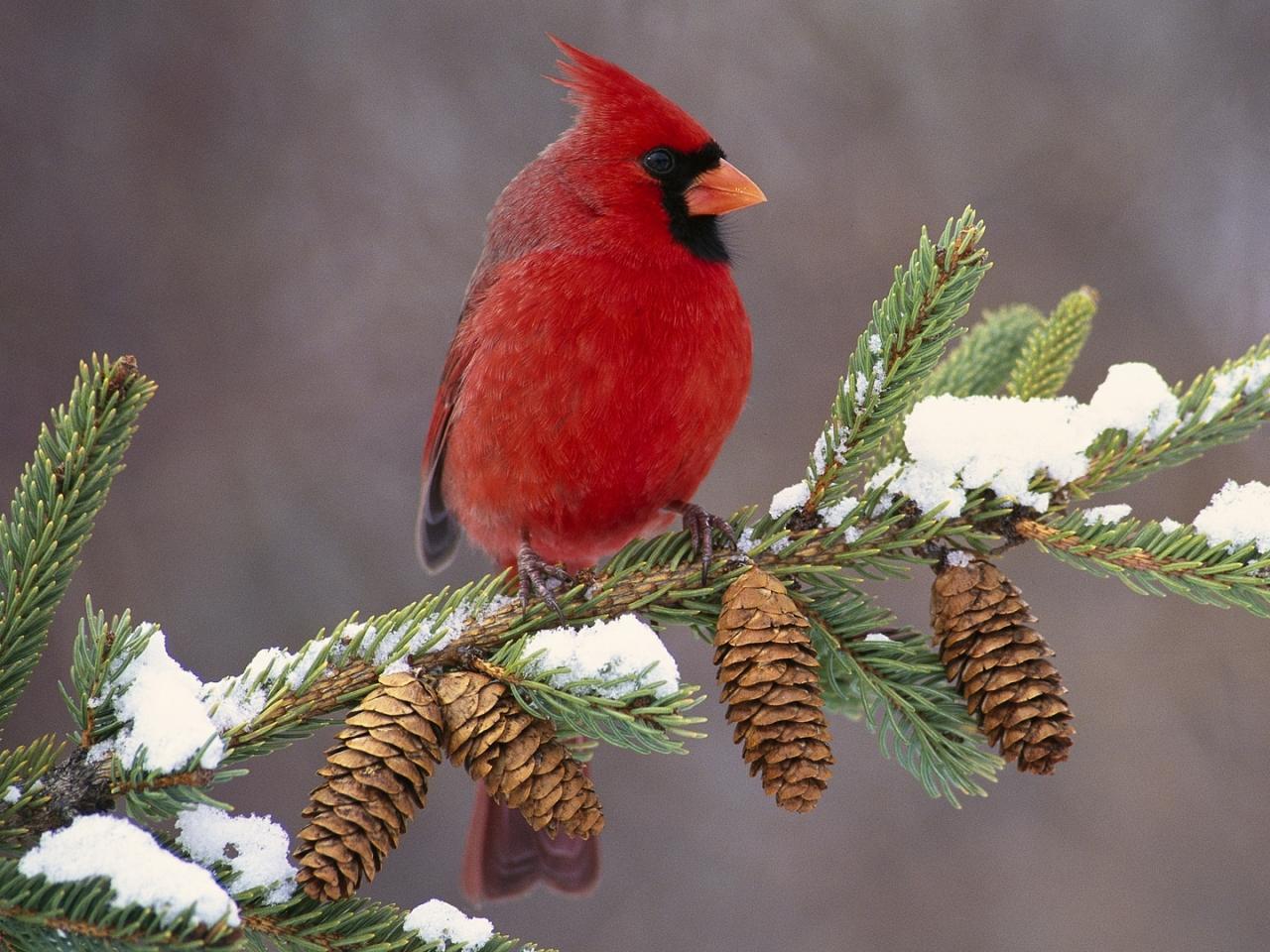 Red Cardinal Bird Heaven