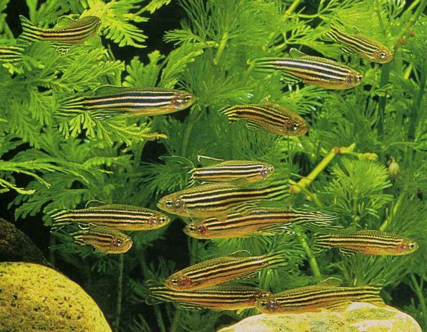 zebra fish is good fish for beginners its playful fish like to kept in
