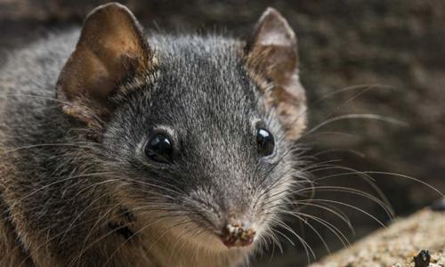 Loài vật giao phối nhiều đến mất mạng ở Australia