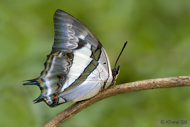 Butterflies of Singapore: Life History of the Blue Nawab