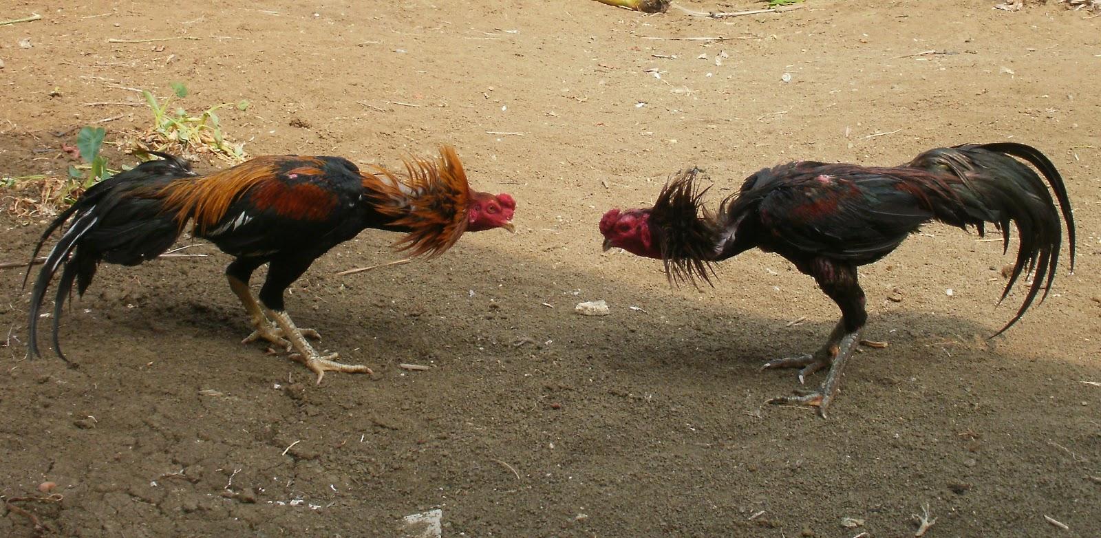 Ayam Bangkok Sorğusuna Uyğun şekilleri Pulsuz Yükle Bedava Indir