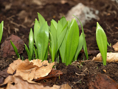 An image of the tips of wild garlic plants emerging out of the ground.
