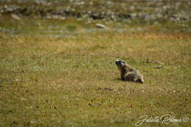 Marmotte dans la réserve naturelle de la Grande Sassière