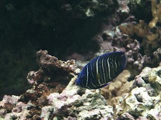 Poisson-ange à tête bleue - Pomacanthus xanthometopon