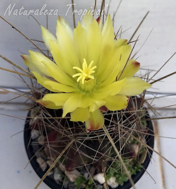 Detalles de la flor del cactus Ferocactus hamatacanthus