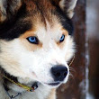 Siberian Husky Temperament Informations