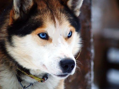 Siberian Husky Temperament Informations | Siberian Husky