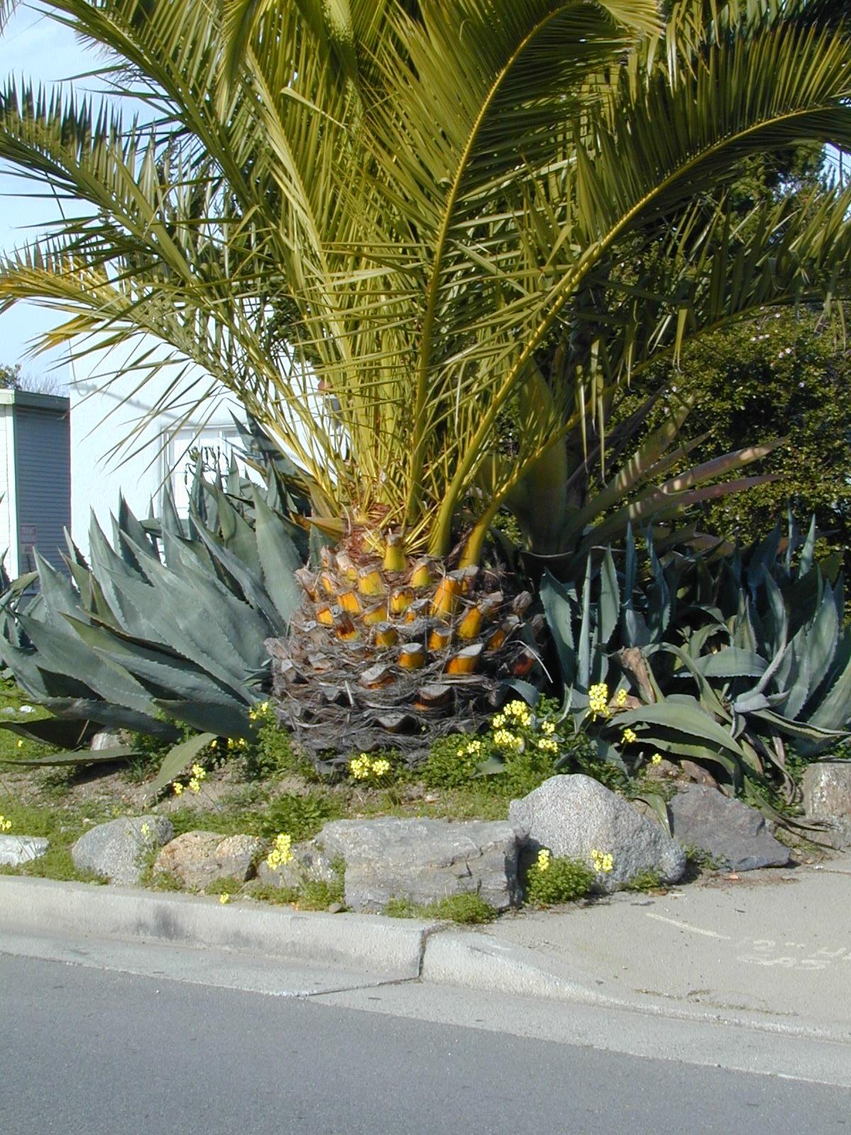 trees of santa cruz county phoenix canariensis canary island palm. Black Bedroom Furniture Sets. Home Design Ideas