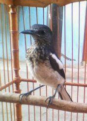 Membedakan Kacer Trotol Jantan Dan Betina Kicau Burung Mania Cute766