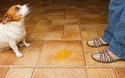Qu es mejor utilizar para las manchas de orina de perro