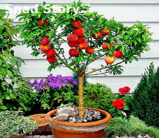 Dwarf fruit trees for sale online for Cherry trees for sale