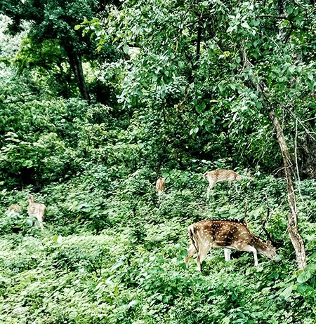 jim corbett national park ,spotted deer ,travel ,style panorama