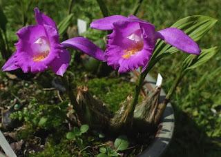 Pleione aurita care and culture
