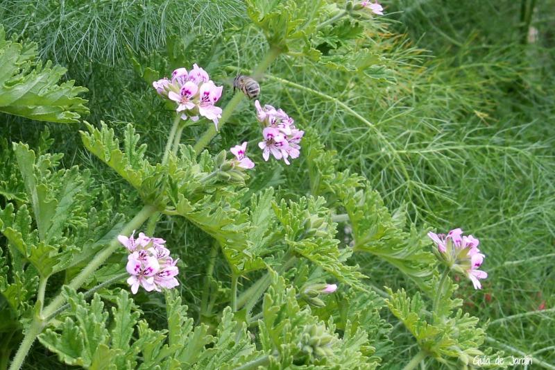 Pelargonium graveolens, geranio antimosquitos
