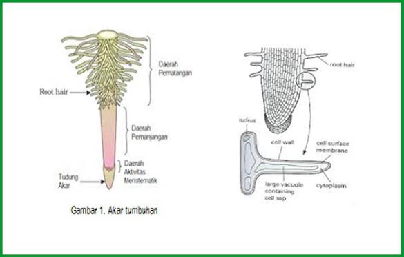 Fungsi Rambut Akar Tumbuhan dalam Proses Penyerapan Air dan Hara Tanah