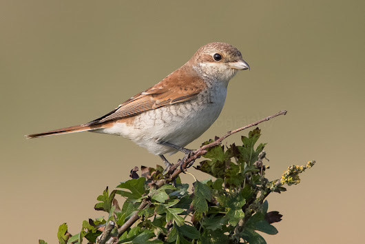 Red-backed Shrike at Beer Head