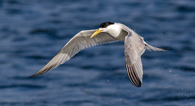 Birds In Flight Photography with Canon EOS 7D Mark II / 400mm Lens