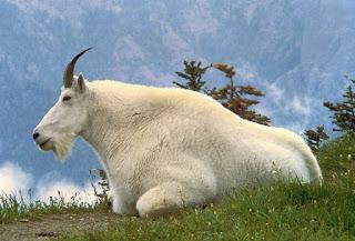 5 Hewan Dengan Bulu Paling Lebat Di Seluruh Dunia