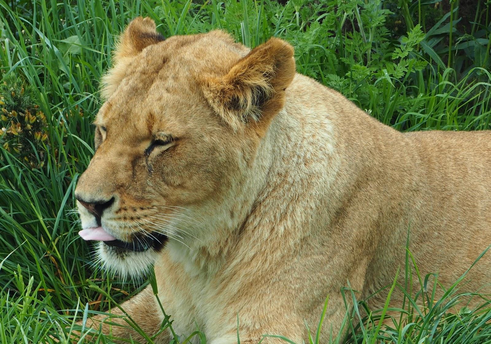 west midland safari park lion