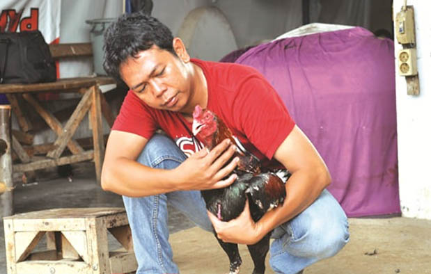 Cara Melatih Ayam Bangkok