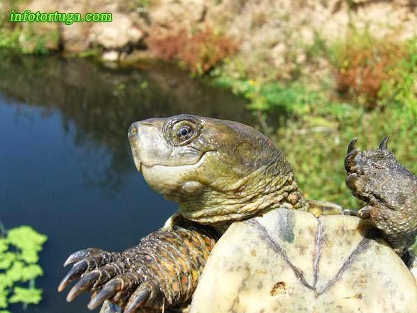 Mauremys leprosa, tortuga de rierol