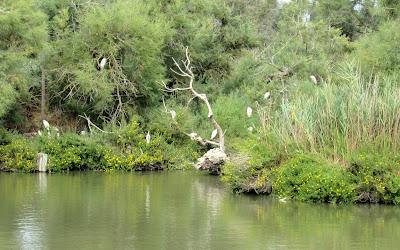 Garcetas en el Parque ornitológico Pont de Gau. La Camarga