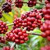 Robustas Amazônicos surfam a terceira onda do café