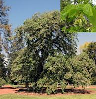 Uzaktan ağacını ve yakından dallarını gösteren karaağaç resmi