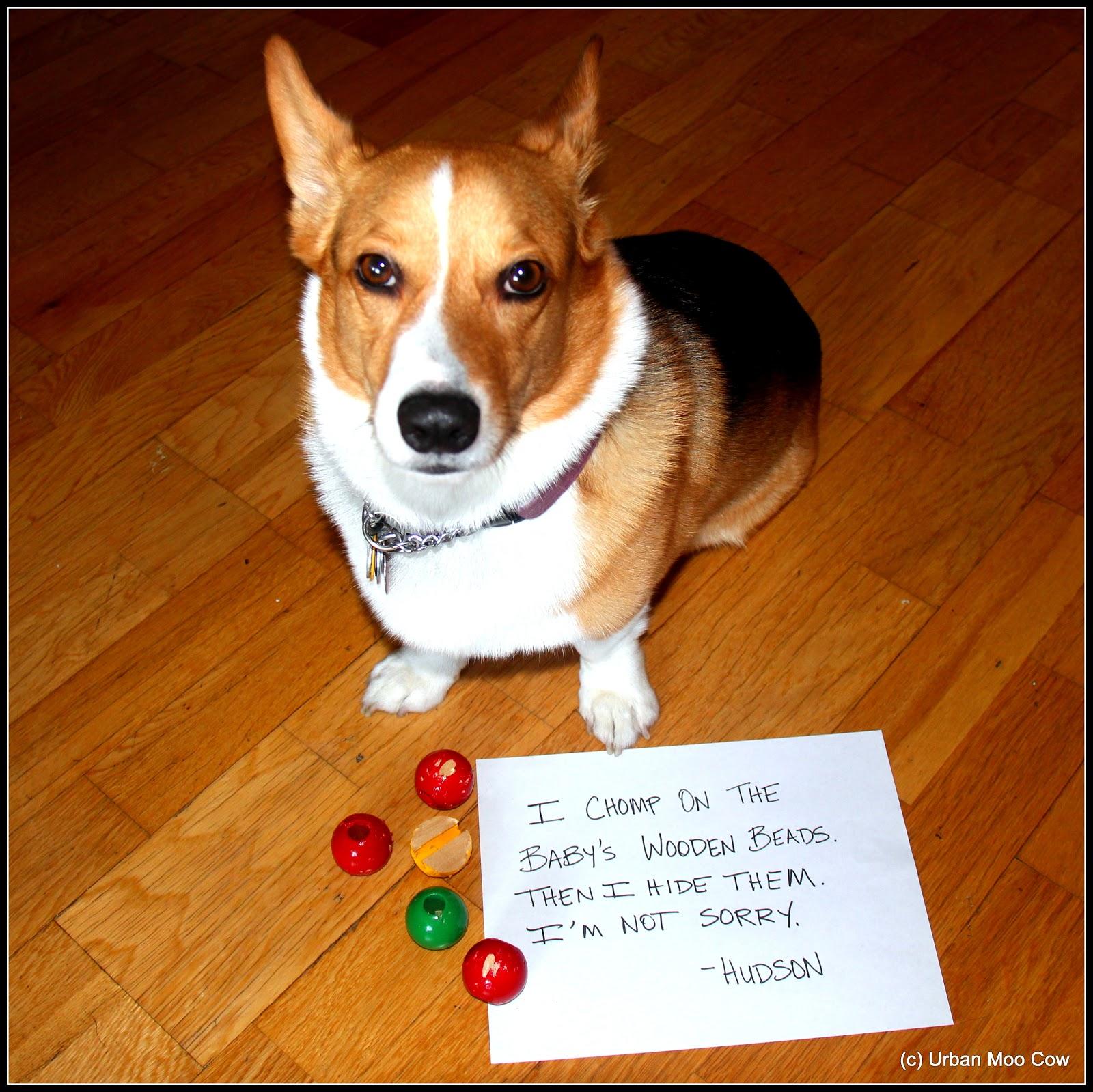 Dog Shaming Corgi - photo#43