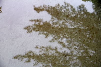 pine branches reflected in driveway puddle